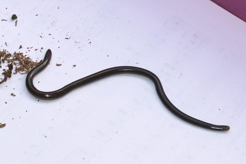 Flowerpot snake
