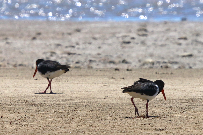 Oystercatchers on beach, Ollera Creek