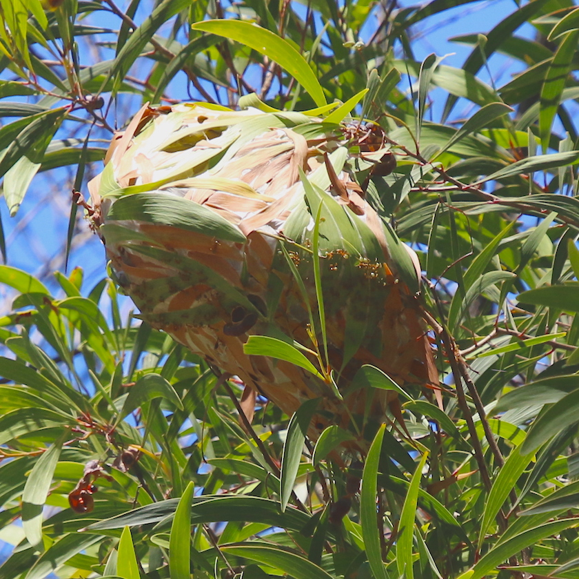 Green-ant nest in tree