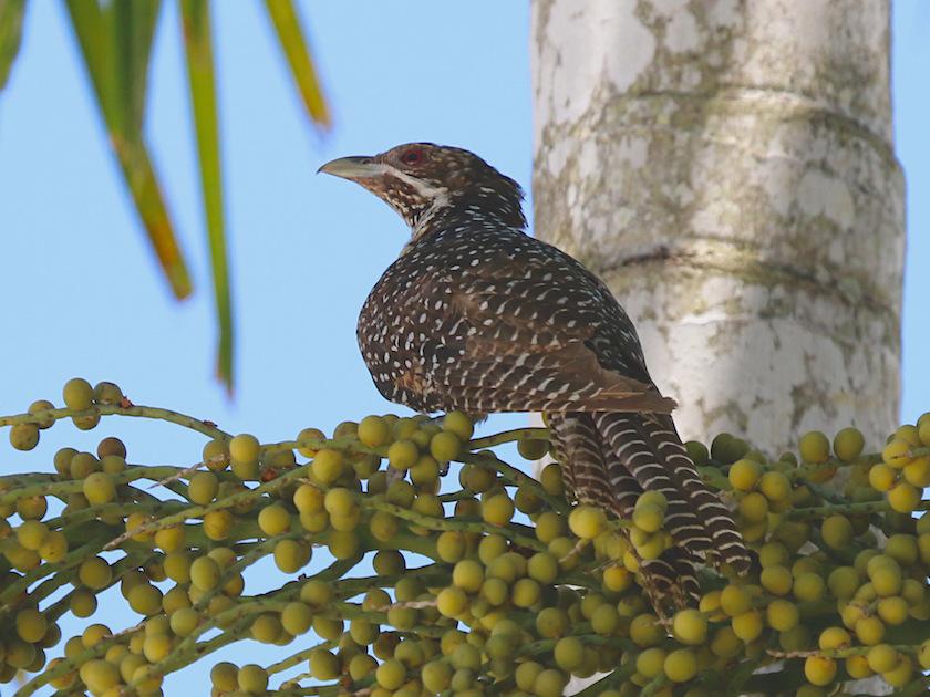 female Koel on palm