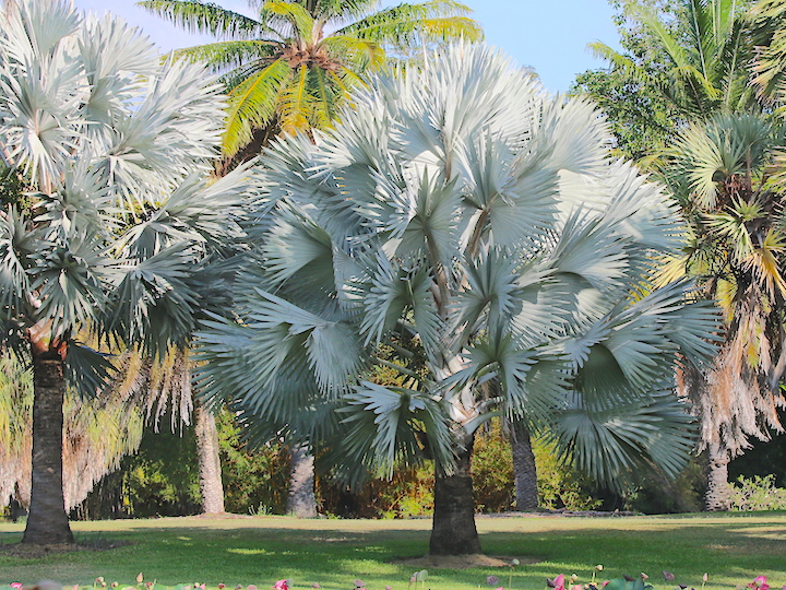 Bismarkia and other palms in Anderson Park
