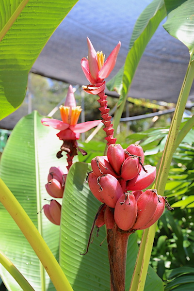 ornamental banana pink flower and fruit