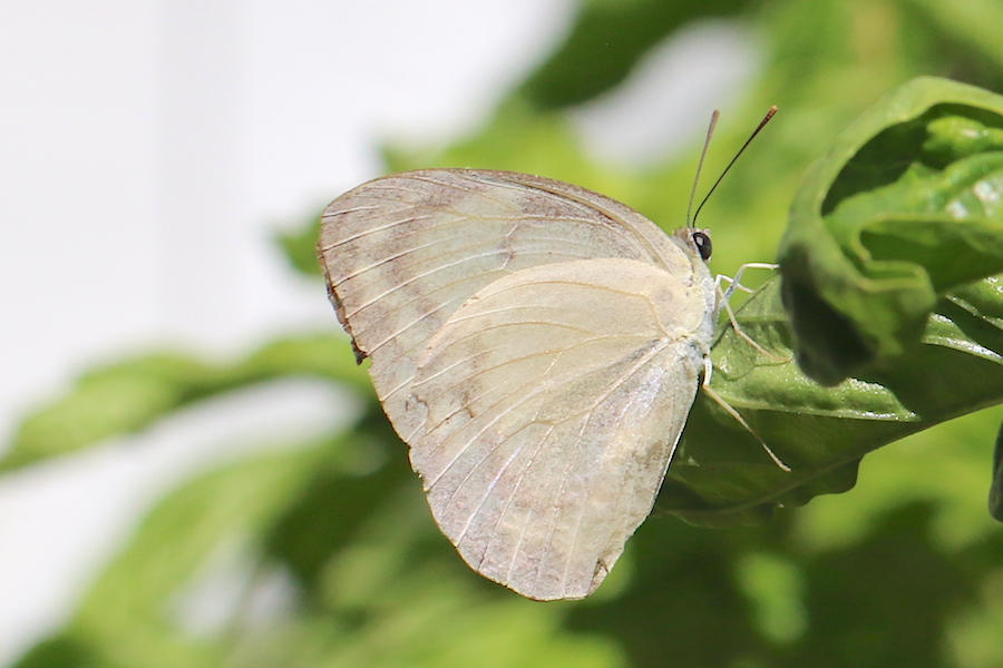 Lemon Migrant, Catopsilia pomona