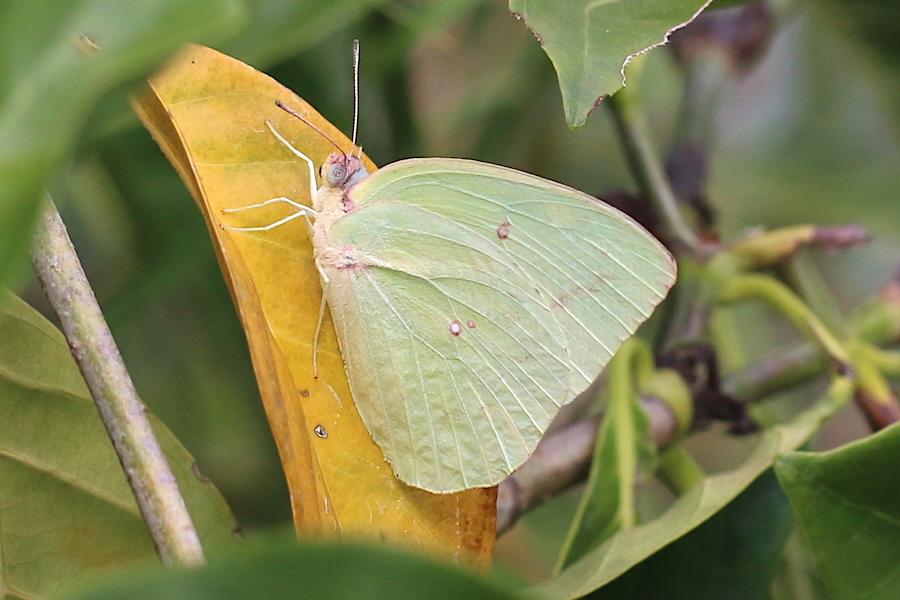 Lemon Migrant butterfly, Catopsilia pomona