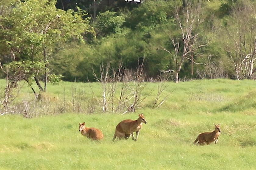 wallabies in grassland