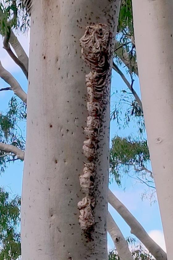 wasp nest on eucalypt trunk