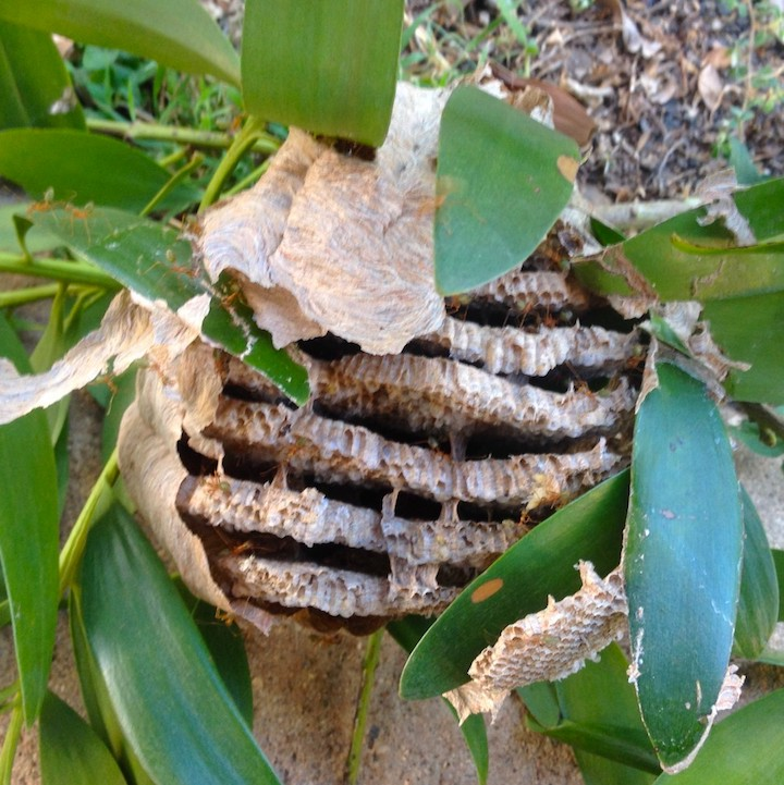 Yellow paper wasp nest, abandoned