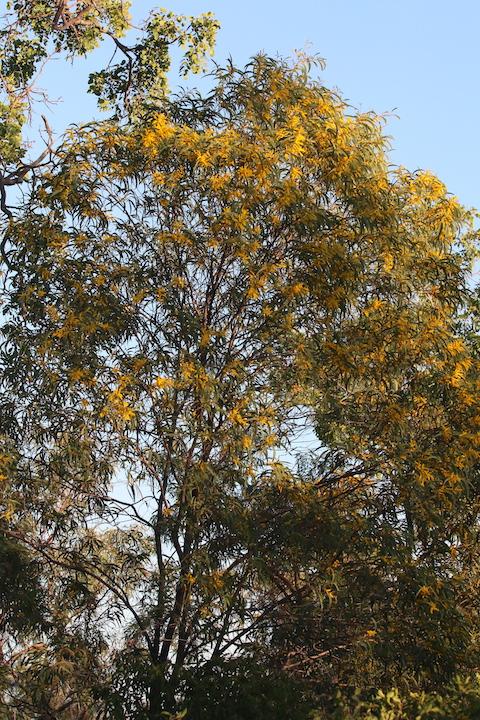 wattle in flower at Undara Lava Tubes