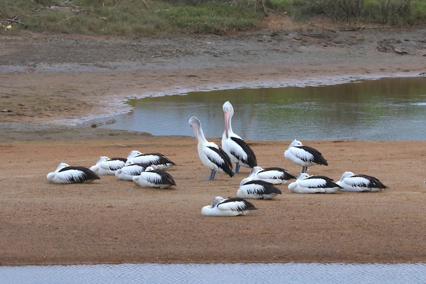 Pelicans on Ross River