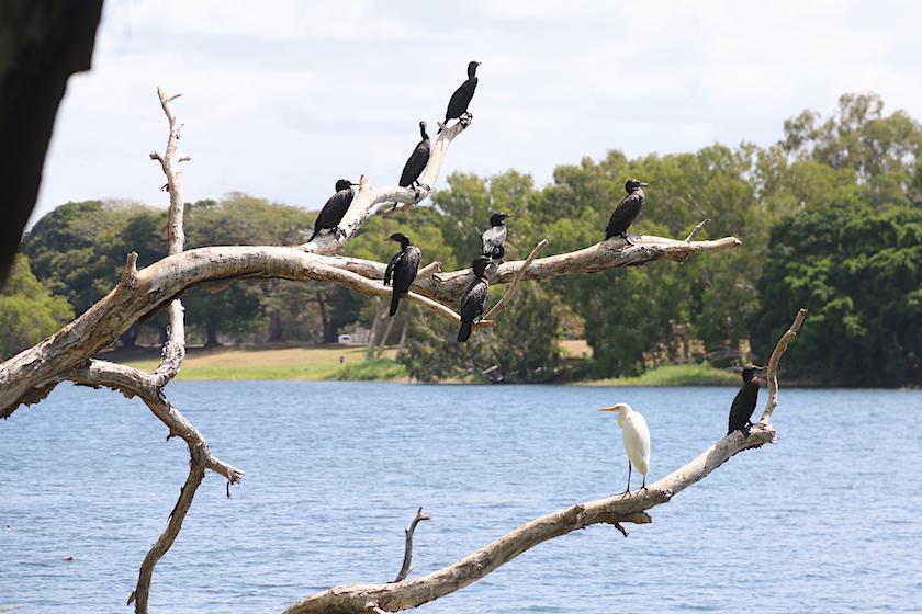 Little Black Cormorants and an Egret