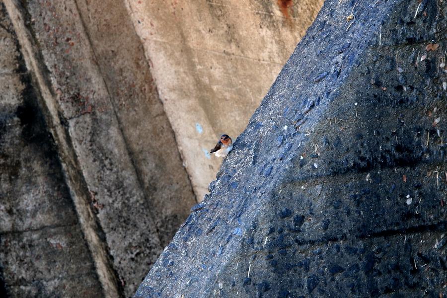 Welcome Swallows Hirundo neoxena on Aplins Weir wall