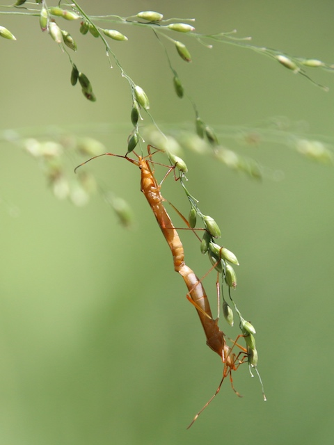 paddy bugs mating