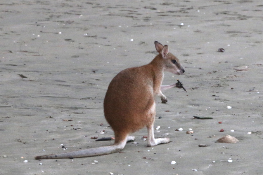 wallaby with food