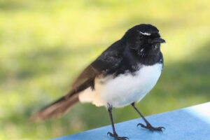 Willie wagtail Tyto wetlands