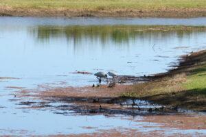 water birds in Tyto wetlands
