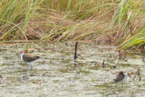 Jacanas, Tyto wetlands