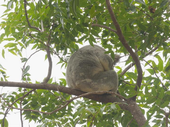 Koala near the Sphinx track junction