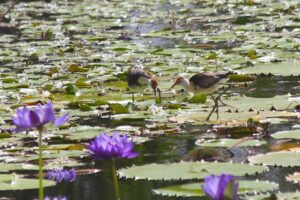 Jacanas at Tyto wetlands