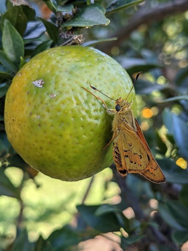 butterfly on fruit