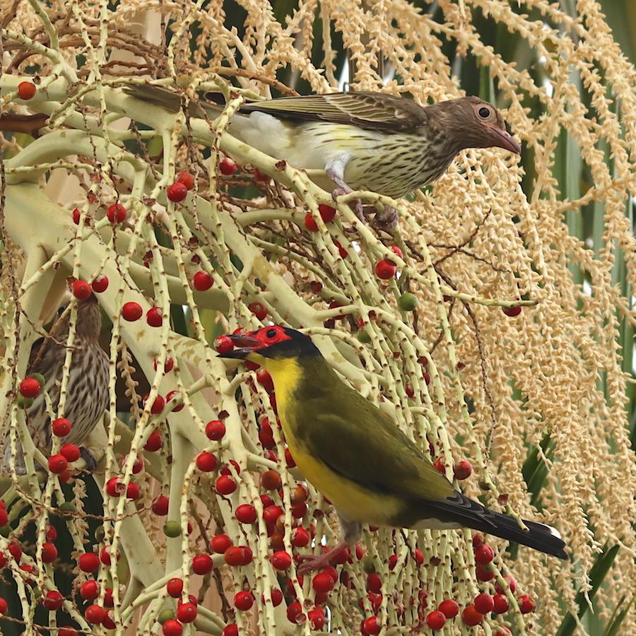 Figbirds on palm seeds