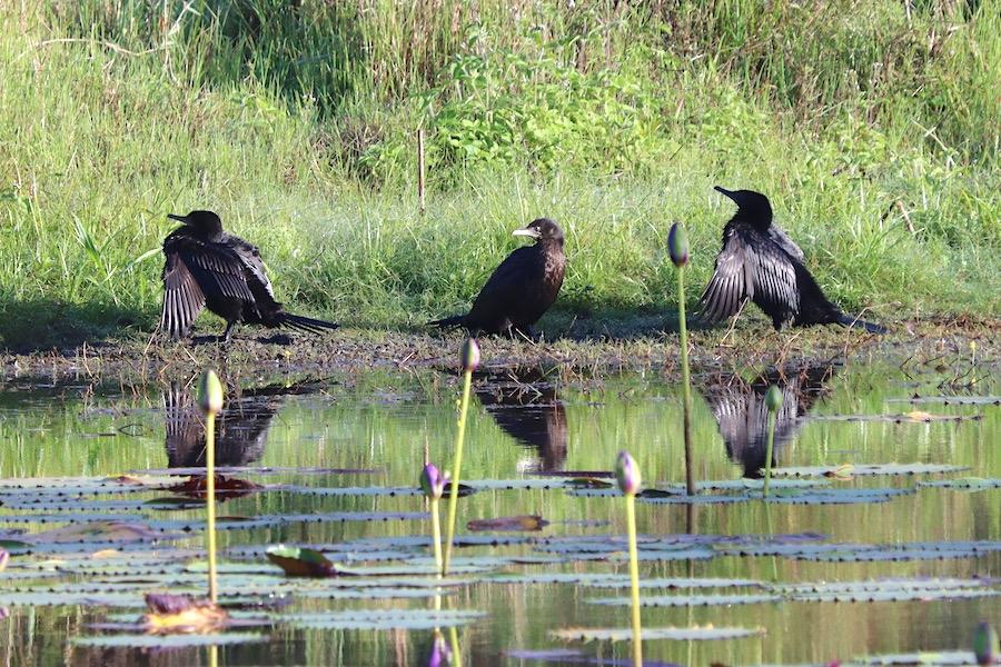 Cormorants, Tyto wetlands