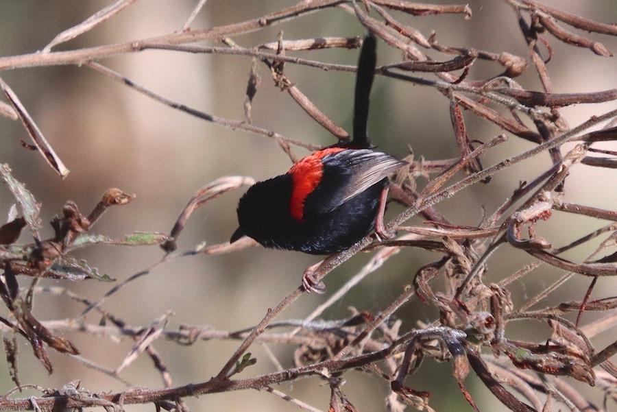 Red-backed Wren, Tyto wetlands