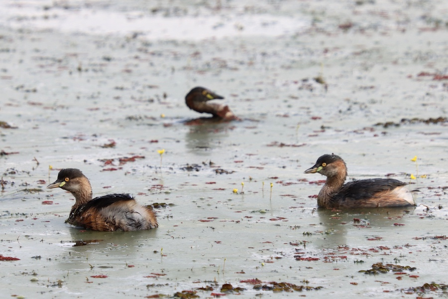 Grebes, Tyto wetlands