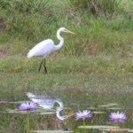 Egret, Tyto wetlands