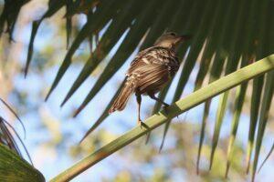 Bowerbird in fan palm