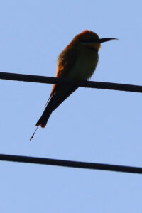 Rainbow Bee-eater on power lines