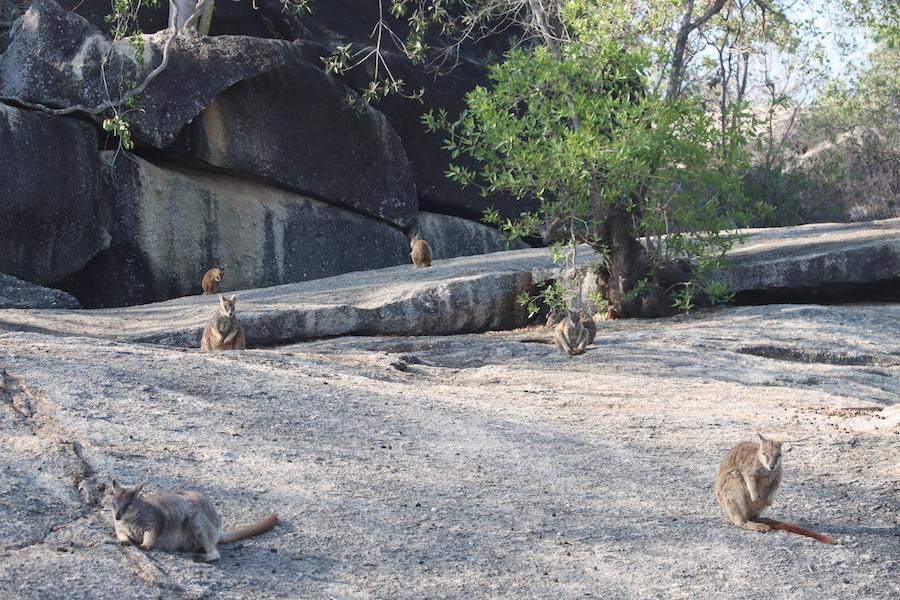 Mareeba Rock Wallabies